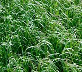 Germinar SRL - Rye Grass